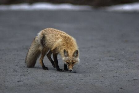 Alaska, wild red fox