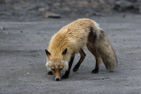Wild red fox smells something