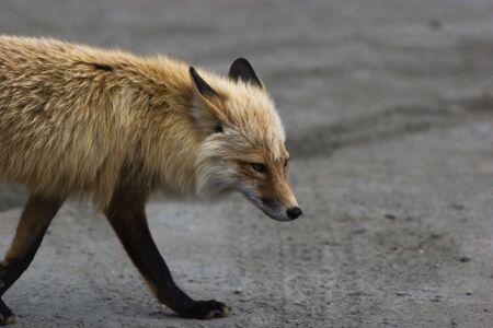 Wild red fox wondering around, close-up