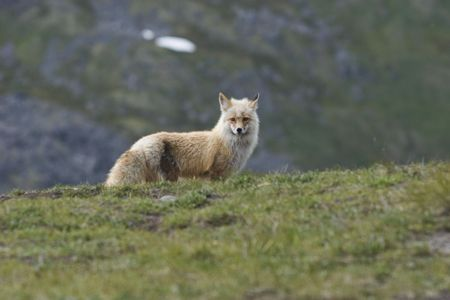 Wild fox on alert, Alaska, 2007