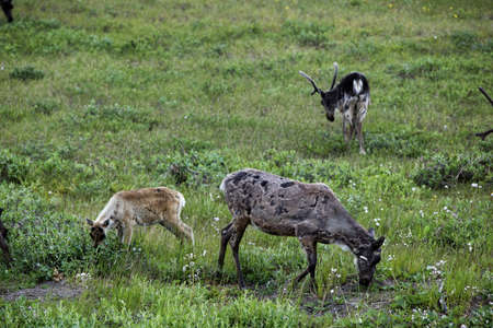 Caribou female and calf grazing on Alaskan Tundra
