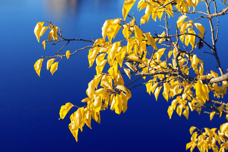 yellow trees: Branch with yellow leaves against the backdrop of water Stock Photo