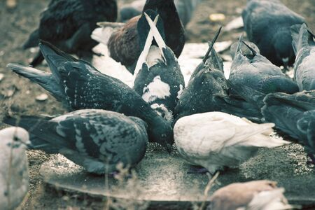 crowd tail: an image of pigeons searching for food Stock Photo