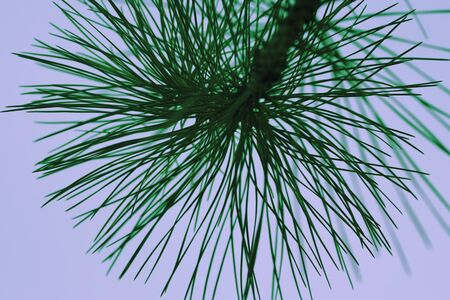 tropical shrub: pine branches with green needles against the empty sky Stock Photo