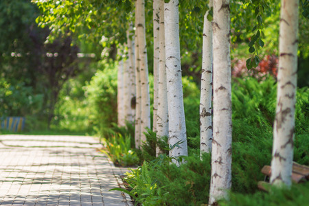 alley of birch trees and other plants