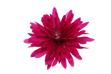 Red vibrant chrysanthemum isolated on a white background. Close-up. Flower for design.