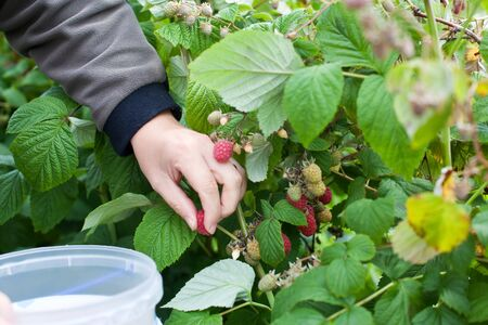 Hand of man picking red ripe raspberries photo