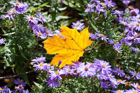 Yellow maple leaf with lila flowers in autumn park photo