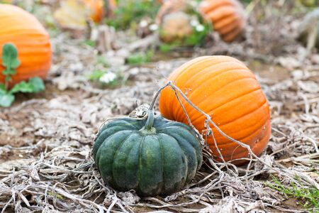 Pumkin field with different typ of pumpkin on autumn day Stock Photo - 15905102