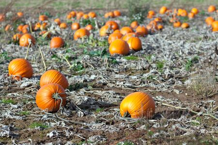 Pumpkin field with different type of pumpkin on autumn day photo