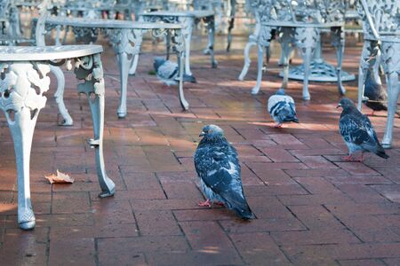 Doves and iron chairs in outdoor cafe on sunny autumn day photo