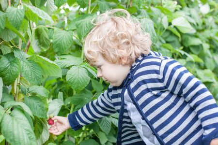 organic raspberry: Little toddler picking raspberry on organic raspberry farm in summer Stock Photo