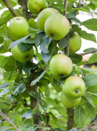 verde manzana: Frescas manzanas maduras verdes en árbol en el jardín de verano Foto de archivo