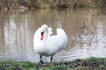 White swan on a spring lake in Germany. photo