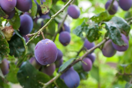 Fresh ripe blue plums on tree in summer garden Stock Photo - 18095197