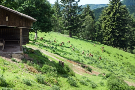 Deer flock on green meadow, Germany photo