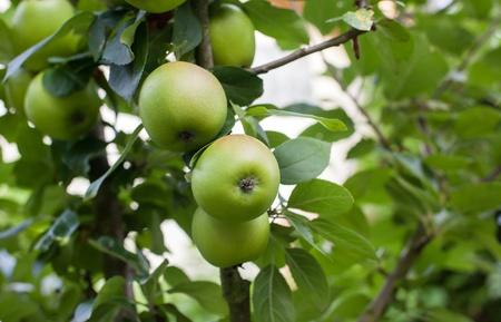 Fresh ripe green apples on tree in summer garden Stock Photo - 19282238