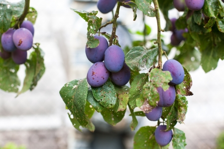Fresh ripe blue plums on tree in summer garden Stock Photo - 19282244
