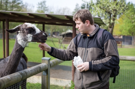 Young man feeding lama in zoo in summer photo