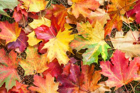 Autumn colorful red and yellow maple leaves in park photo