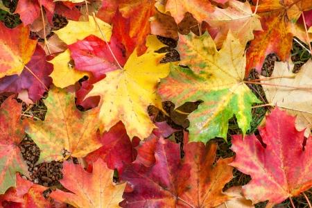 Podzimní barevné červené a žluté javorové listy v parku