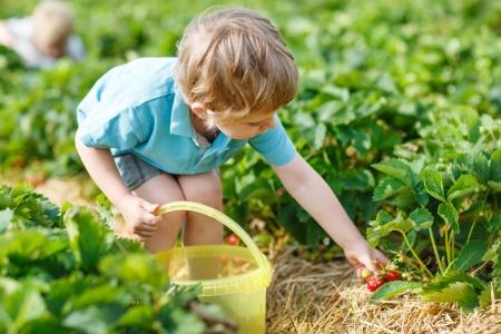 Little boy  on organic strawberry farm in summer, picking berries