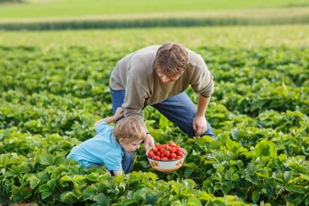 Jonge man en zijn zoon op biologische aardbeien boerderij in de zomer, bessen plukken