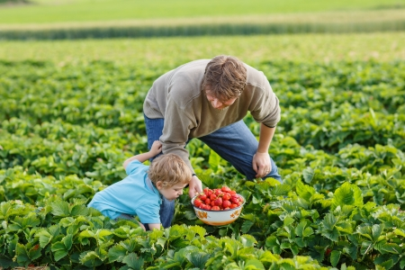 Young man and his son on organic strawberry farm in summer, picking berries Stock Photo