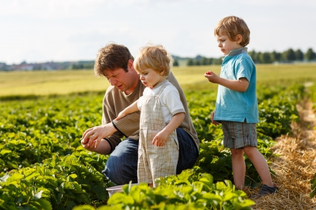 Young man and his two sons on organic strawberry farm in summer, picking berries