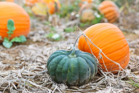 Pumkin field with different typ of huge pumpkins on autumn day