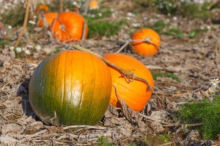 Pumpkin field with different typ of pumpkin on autumn day