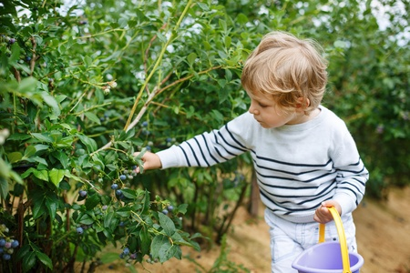 Little boy picking blueberry on organic self pick farm in Germany photo