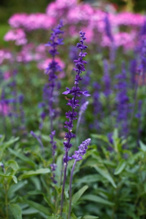 lavendin: Lavender flowers - Sunset over a summer purple and pink lavender field