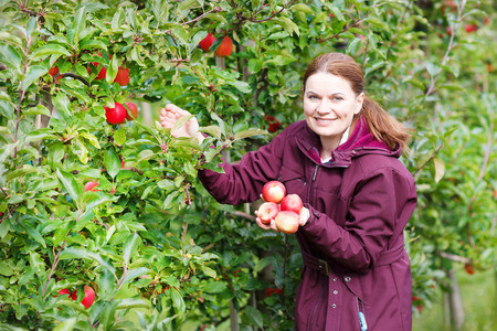 Young woman picking red apples in an orchard. photo