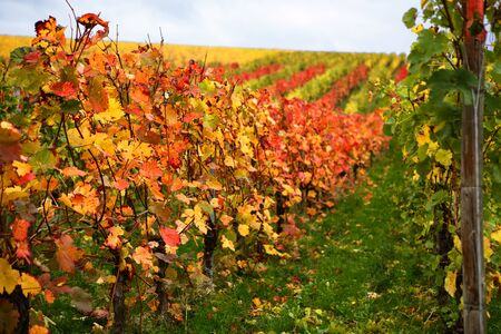 mosel: Mosel Vineyards region in autumn in Germany