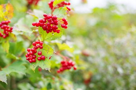 rowanberry: Rowanberry in autumn forest hanging on branch.