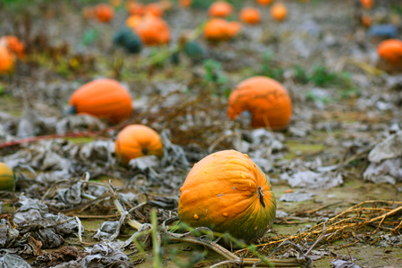 typ: Pumkin field with different typ of huge pumpkins on autumn day
