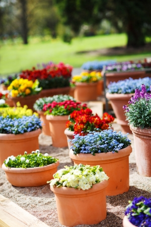 Beautiful different flowers in ceramic flowerpots in spring park photo