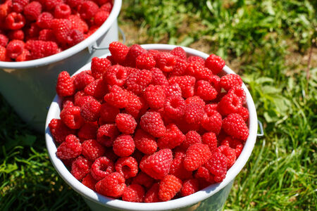 harvest organic: Two white buckets full of harvest: organic ripe raspberries from a farm in Germany