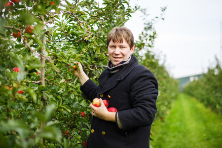 Young caucasian man picking red apples in an orchard, outdoors, autumn. photo