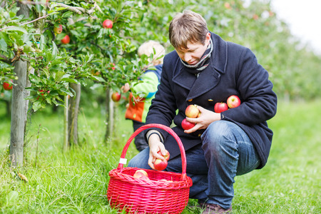 Young man picking red ripe apples in fruit garden with his little son on background, outdoors. photo