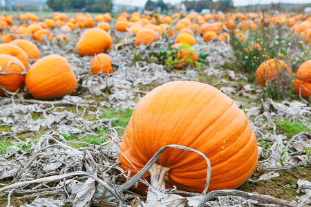 Pumkin patch field with different typ of huge pumpkins for halloween or thanksgiving holiday. photo