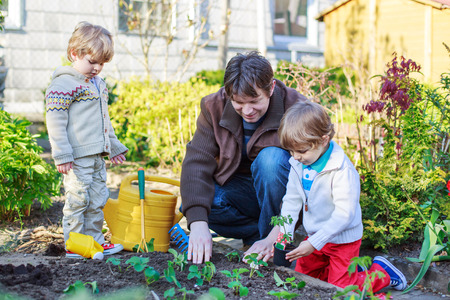 Happy family of three: Two little boys and father planting seeds and seedlings in vegetable garden, outdoors