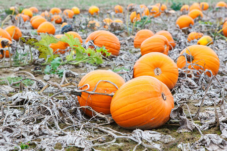 Pumkin patch field with different typ of huge pumpkins for halloween or thanksgiving holiday.