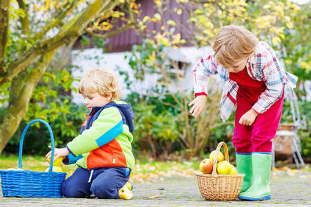 Two cute little boys harvesting apples in homes garden, outdoors. Own harvest. Boys in colorful rubber boots on autumn day. Stock Photo