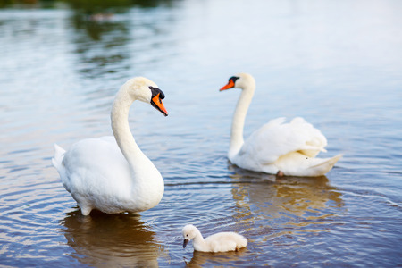 ugly duckling: Bird family: swans and cygnet, on a lake.