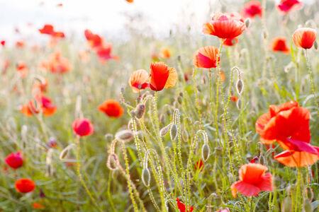 poppy field: Vivid papaver veld in licht van de avondzon
