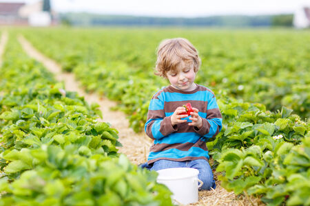 Funny little kid picking and eating strawberries on organic bio berry farm in summer, on warm sunny day. Harvest fields in Germany. photo