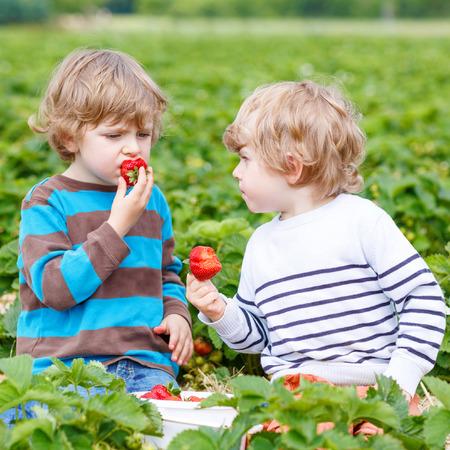 fresa: Dos peque�os amigos que se divierten en la granja de fresas en verano. Alimentar a los dem�s con bayas org�nicas y pasar tiempo juntos. Varones hermanos rubios lindos comiendo bayas sanas.