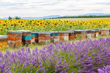 Bienenstöcke auf Lavendelfelder, in der Nähe Valensole, Provence. France. Berühmt, beliebtes Ziel für Touristen und für die Herstellung von Urlaub im Sommer.